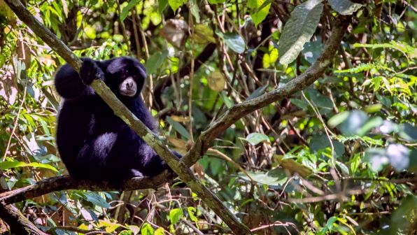 Critically endangered siamangs are protected by their remote location. Photo by Francesco Ricciardi.